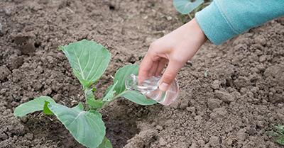 Белокочанная капуста особенности выращивания в открытом грунте
