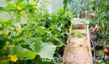 помидорогурец1