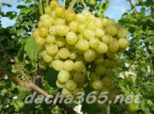 вино3