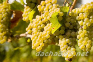 виноград15