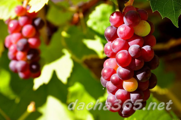 виноград2
