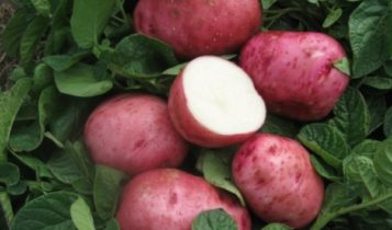 kartofel-sorta-bellarosa-1