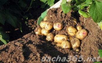 картофгребки