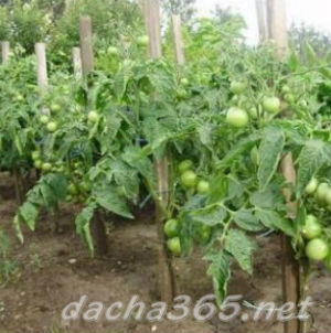 помидоргрунт3