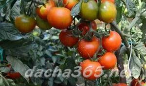 томатгрунт14
