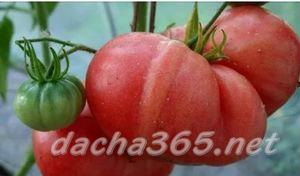 томатгрунт2