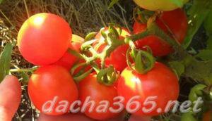 томатгрунт7