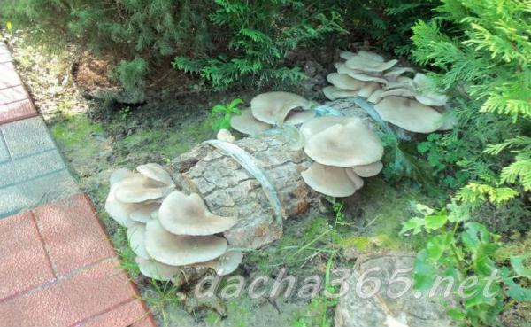 Выращивание грибов на даче и в огороде- условия для посадки и уход