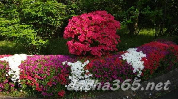 Азалия садовая: посадка и уход в открытом грунте, сорта и ...