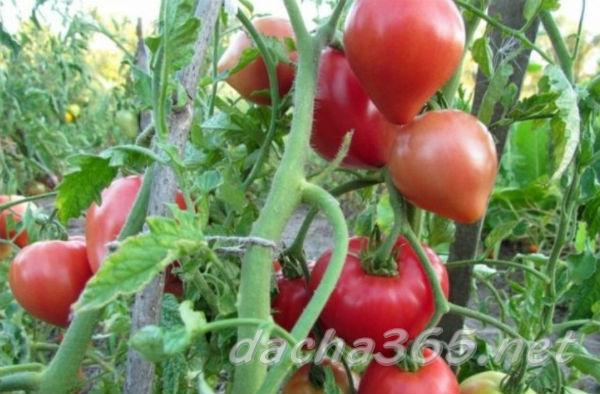 Томат Абаканский розовый — описание сорта, фото, урожайность, отзывы огородников