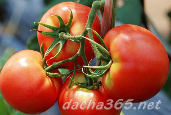 Особенности сорта томата дачник