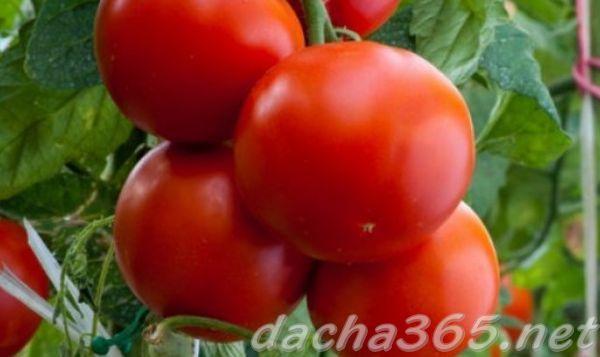 Томат Ямал – характеристика и описание сорта, фото, урожайность, сравнение с Ямал 200, отзывы