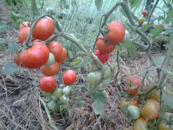 Описание, характеристика, посев на рассаду, подкормка, урожайность, фото, видео и самые распространенные болезни томатов сорта «Аурия».