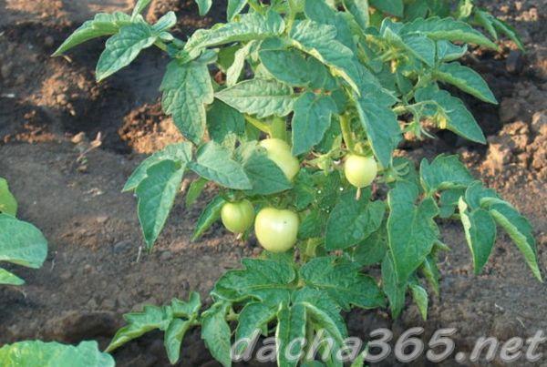 томат сердце кенгуру описание и характеристика сорта его урожайность с фото