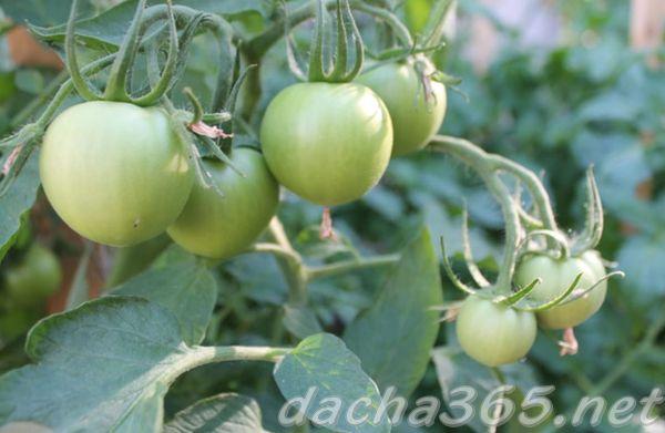 Томат Евпатор F1 - описание сорта гибрида, характеристика, урожайность, отзывы, фото