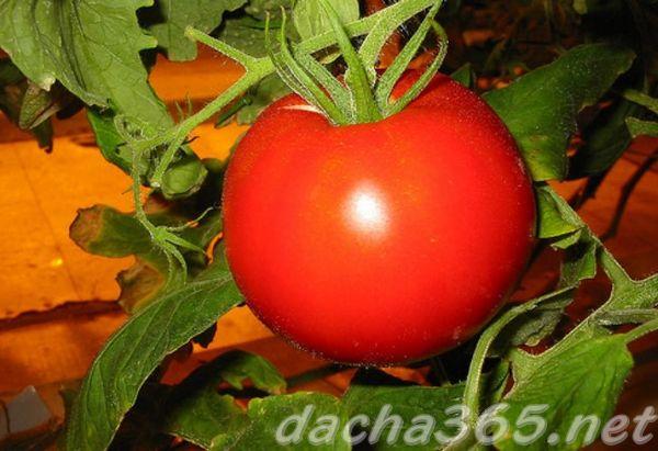 томат златова характеристика и описание сорта урожайность с фото
