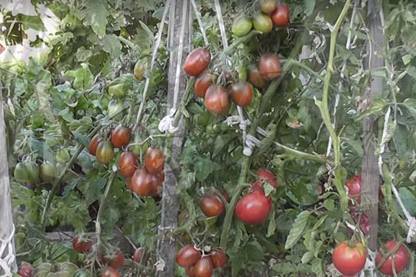 пикачу томат слива черная отзывы фото описании обычно