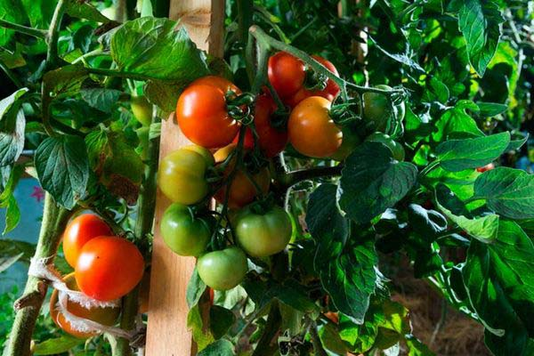 Томат Артист f1 характеристика и описание сорта урожайность с фото