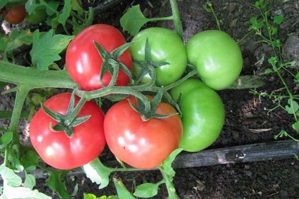томат ирина f1 характеристика и описание достоинства и недостатки сорта