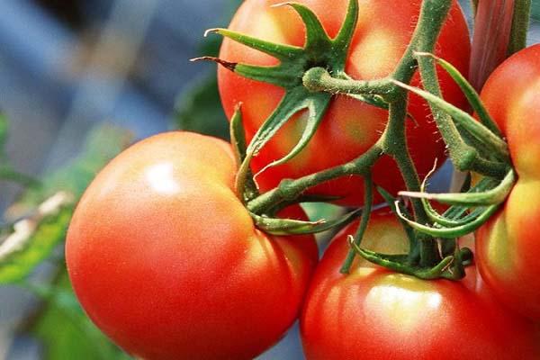 Томат стреза характеристика и описание сорта урожайность с фото