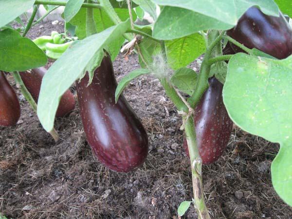 Баклажан Дестан f1 описание сорта характеристики и урожайность с фото