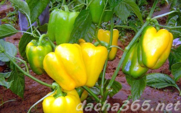 Характеристика и описание гибрида перца Джемини F1, выращивание и уход