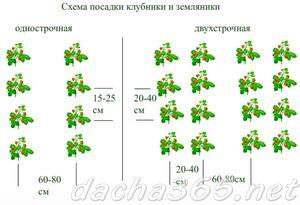 клубника22