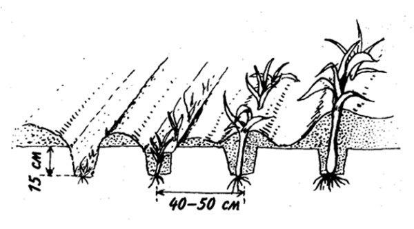 Выращивание лука порея через рассаду: посадка и уход в открытом грунте, когда и как сажать, посев и сроки посадки семян, видео