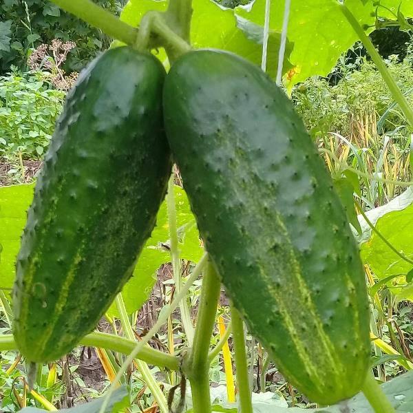 Мексиканский огурец характеристика и описание сорта отзывы дачников с фото