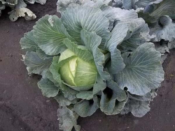 Капуста амагер описание и характеристика сорта выращивание с фото