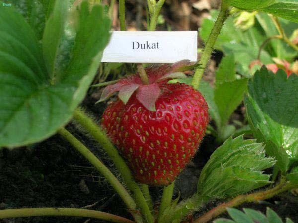 Дукат – описание сорта клубники, агротехника выращивания