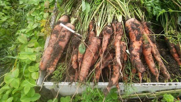 Морковь балтимор описание сорта фото отзывы