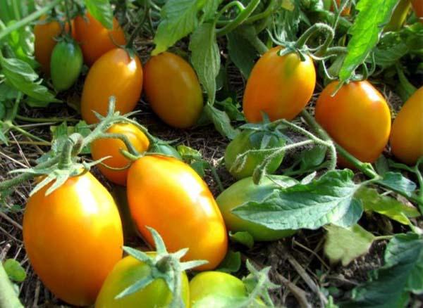 Томат Золотой поток описание сорта урожайность и отзывы с фото