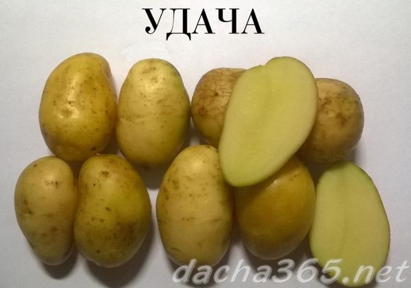 Хорошо хранящиеся сорта картофеля: посадка и уход