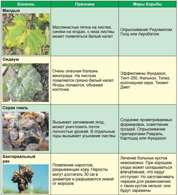 болезни и вредители винограда 3_1