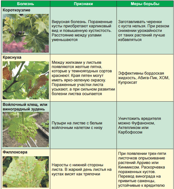 болезни и вредители винограда 3_2