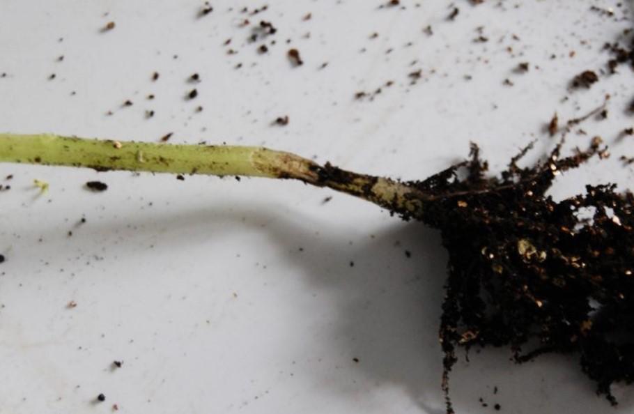 Почему чернеет ножка у рассады помидор