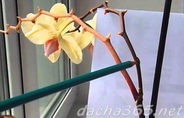 орхидея8