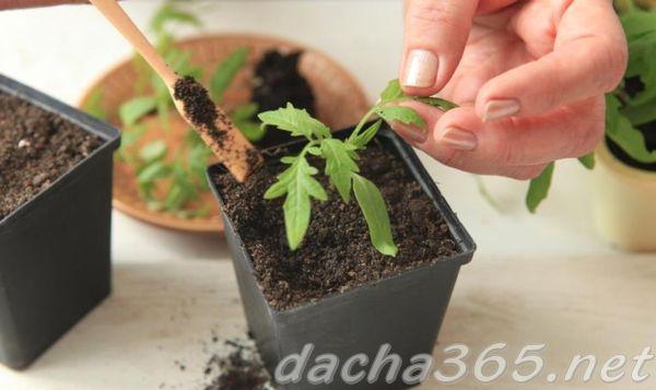 Причина пожелтения рассады томатов