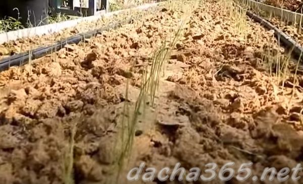 Лук из семян посадка и уход в открытом грунте
