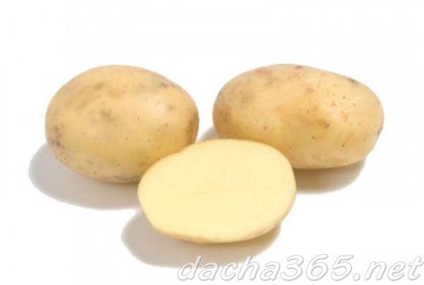 Хорошо развариваемые сорта картофеля: посадка и уход