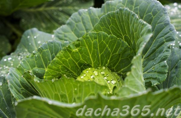 полив капусты как часто