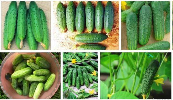 Подготовка семян огурцов к посеву в открытый грунт и теплицу: как сажать